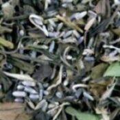 Witte thee met lavendel